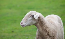 Sheep grazing on a green meadow Royalty Free Stock Photography