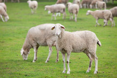 Sheep grazing on a green meadow. In de center of Spain Royalty Free Stock Photography