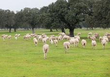 Sheep grazing on a green meadow. In de center of Spain Stock Photography