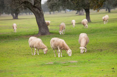 Sheep grazing on a green meadow. In de center of Spain Royalty Free Stock Images