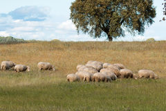 Sheep grazing on a green meadow. In de center of Spain Stock Images
