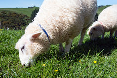 Sheep grazing on green meadow. Detail of two beautiful sheep grazing on green meadow Royalty Free Stock Photos