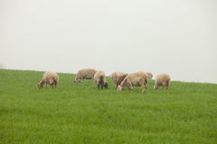 Sheep grazing on a green meadow. During a foggy winter morning Stock Photos
