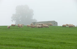 Sheep grazing on a green meadow. During a foggy winter morning Stock Photo