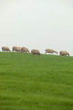 Sheep grazing on a green meadow Stock Image