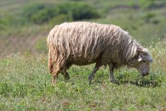 Sheep grazing on green meadow. One sheep grazing on green meadow in countryside Stock Images
