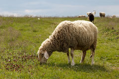 Sheep grazing on a green meadow. Sheep grazing on a green pasture in Spring time Royalty Free Stock Photo
