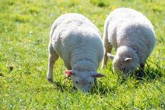 Sheep grazing on green meadow. Two beautiful sheep grazing on green meadow Stock Photos