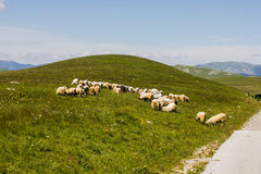 Sheep Grazing on Green Pasture Royalty Free Stock Photo