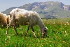 Sheep Grazing on Green Pasture Stock Photos