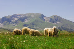 Sheep Grazing on Green Pasture. Flock of sheep grazing on green pasture , beautiful nature landscape in background Royalty Free Stock Photo