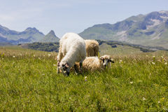 Sheep Grazing on Green Pasture. Flock of sheep grazing on green pasture , beautiful nature landscape in background Royalty Free Stock Image