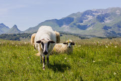 Sheep Grazing on Green Pasture. Flock of sheep grazing on green pasture , beautiful nature landscape in background Stock Image