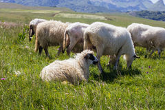 Sheep Grazing on Green Pasture. Flock of sheep grazing on green pasture , beautiful nature landscape in background Stock Photo