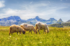 Sheep Grazing on Green Pasture. Flock of sheep grazing on green pasture , beautiful nature landscape in background Stock Photos