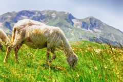 Sheep Grazing on Green Pasture. Flock of sheep grazing on green pasture , beautiful nature landscape in background Stock Photography