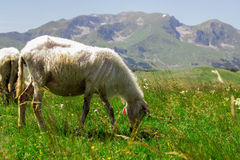 Sheep Grazing on Green Pasture. Flock of sheep grazing on green pasture , beautiful nature landscape in background Stock Images