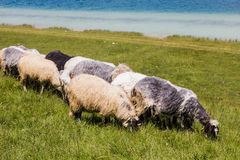 Sheep Grazing on Green Pasture Stock Photography