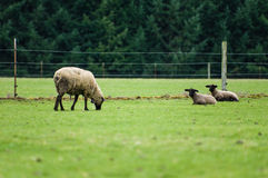 Sheep grazing in a green pasture Royalty Free Stock Photo