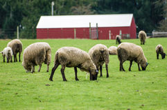 Sheep grazing in a green pasture Stock Image