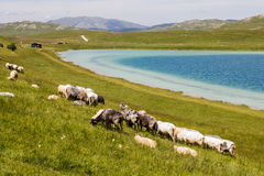Sheep Grazing on Green Pasture. Flock of sheep grazing on green pasture at lake, beautiful nature landscape in background Royalty Free Stock Photo