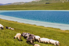 Sheep Grazing on Green Pasture. Flock of sheep grazing on green pasture at lake, beautiful nature landscape in background Royalty Free Stock Images
