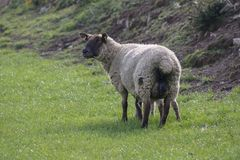 Sheep in field. Sheep grazing on a green pasture stock image