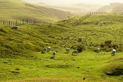 Sheep grazing a green pasture at sunset Royalty Free Stock Image