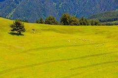 Sheep grazing in green valley in Caucasus mountains. Georgia, Tusheti