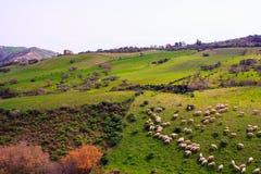 Sheep grazing Stock Photography