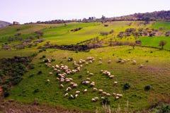 Sheep grazing Royalty Free Stock Image