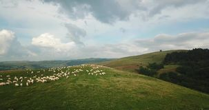 Sheep grazing in the highlands aerial view stock video footage
