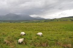 Sheep grazing in the Highlands Stock Photography