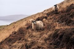 Sheep grazing in the highlands of Scotland royalty free stock image