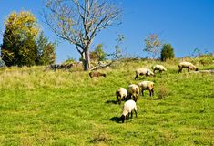 Sheep Grazing on a Hill. A small flock of sheep grazing on a hillside on a bright early fall afternoon Stock Photography