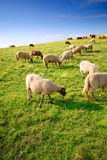 Sheep grazing on a hill Stock Photo