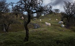 Sheep grazing on a hill amongst hawthorn trees. A small flock of sheep grazing on a hill between bare hawthorn trees in the mountains of mid Wales Stock Image