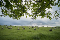 Sheep grazing on a hill. Color image of some sheep on a hill, grazing Stock Images