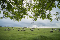 Sheep grazing on a hill. Color image of some sheep on a hill, grazing Royalty Free Stock Photography