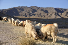 Sheep grazing on a hill. A flock of sheep grazing on a hill in Kaluts, Iran royalty free stock photography