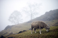 Sheep grazing at hill on foggy day with trees at sloping hill Royalty Free Stock Photography