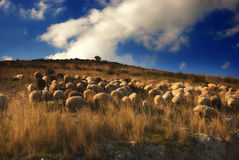 Sheep grazing. On the hills stock photos