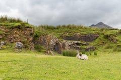 Sheep grazing on hills of connemara in ireland Stock Photography