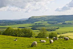 Sheep grazing on hillside Stock Photos