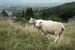 Sheep grazing on a hillside Stock Images