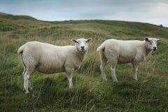 Sheep grazing on a hillside Stock Photo