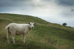 Sheep grazing on a hillside Royalty Free Stock Photography