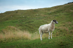 Sheep grazing on a hillside Stock Photography