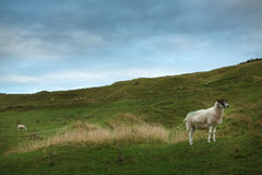 Sheep grazing on a hillside Royalty Free Stock Images