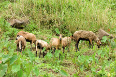 Sheep grazing on a hillside in the tropics Stock Photo